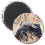 búfalo de agua iman