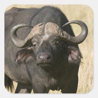 Búfalo del cabo (caffer) de Syncerus, Masai Mara Pegatina Cuadrada