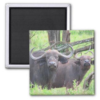 búfalo del cabo imán cuadrado