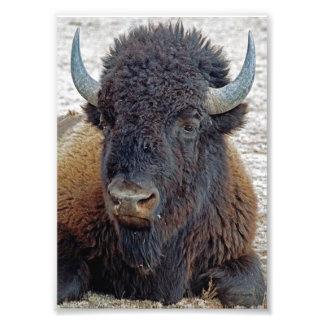 Búfalo distante 5x7 del soñador impresiones fotograficas
