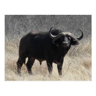 Búfalo en Suráfrica Tarjetas Postales