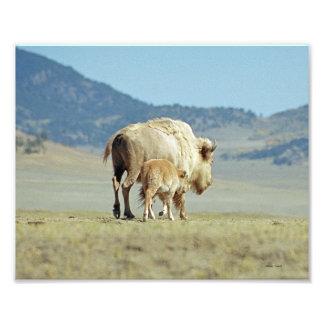 Búfalo y becerro blancos 8x10 fotografia