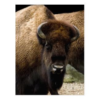 buffalo 1549 Postcard
