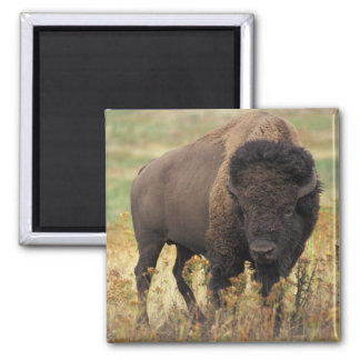 Buffalo 2 Inch Square Magnet