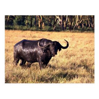 Buffalo after a mud bath post cards