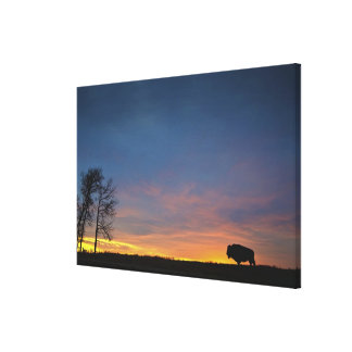 Buffalo At Sunset In Elk Island National Park Stretched Canvas Prints