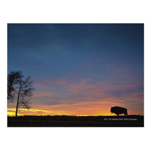 Buffalo At Sunset In Elk Island National Park Postcard