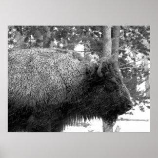 Buffalo at Yellowstone National Park Poster