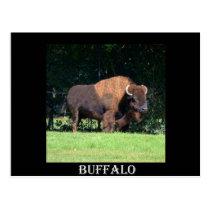 Buffalo (Bison) Kansas, Oklahoma, Wyoming Postcard