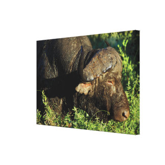 Buffalo cape Sabi Sands game reserve Africa Gallery Wrap Canvas