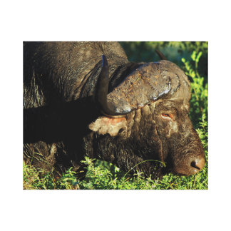Buffalo cape Sabi Sands game reserve Africa Canvas Prints