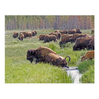 Buffalo Crossing Postcard