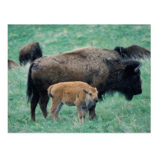 Buffalo Family Postcard