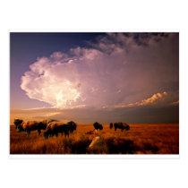 Buffalo herd postcard