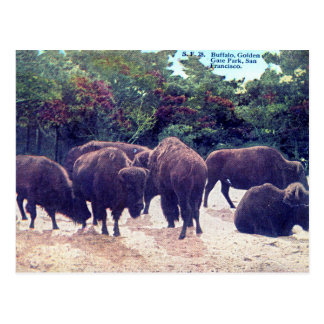 Buffalo in Golden Gate Park Vintage Postcard