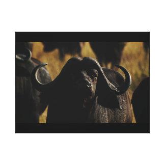 Buffalo male Okavango Delta Botswana Stretched Canvas Print