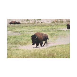 Buffalo on the move, Photography Canvas Print