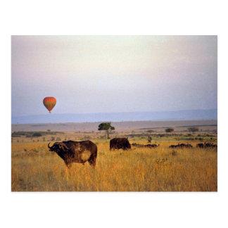 Buffalo on the plain postcards