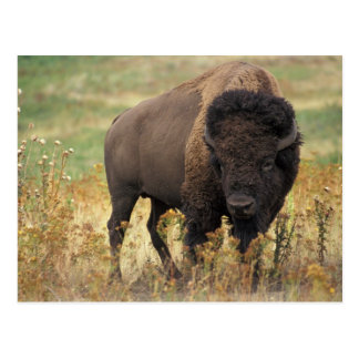 Buffalo Post Cards
