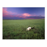 Buffalo Skull in Prairie Grass near Medora Post Card