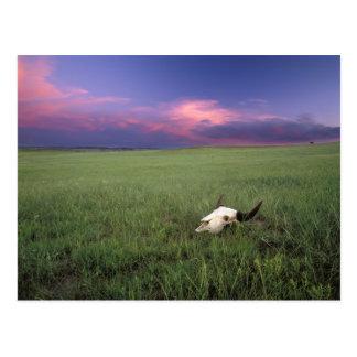Buffalo Skull in Prairie Grass near Medora Postcard