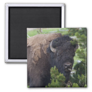 Buffalo Sticking Out Tongue 2 Inch Square Magnet