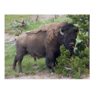 Buffalo Sticking Out Tongue Postcard