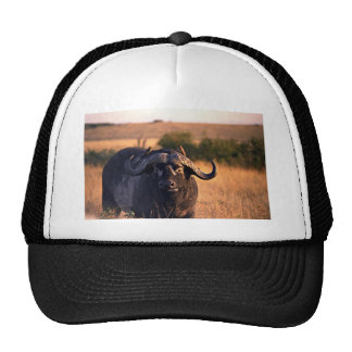 Buffalo with two birds in the morning sun mesh hats