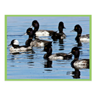 Bufflehead and greater scaup post card