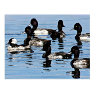 Bufflehead and greater scaup post cards