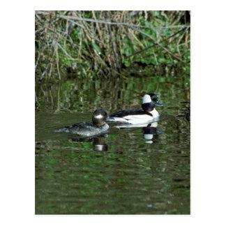 Buffleheads - Dipper Ducks Post Cards
