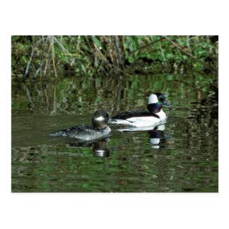 Buffleheads - Dipper Ducks Postcard