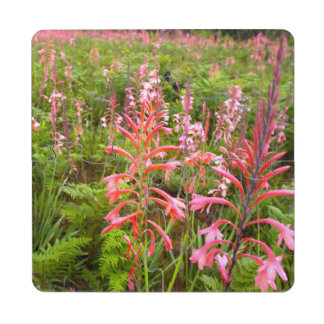 Bugle Lily Watsonia Flower Eastern Cape Puzzle Coaster
