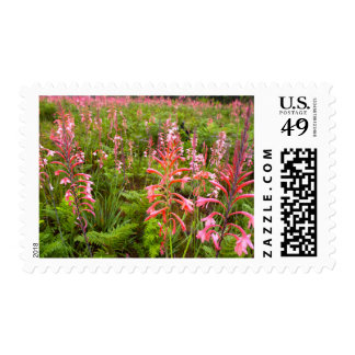 Bugle Lily (Watsonia) Flower, Eastern Cape Postage Stamp
