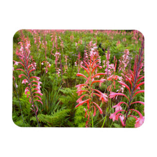 Bugle Lily (Watsonia) Flower, Eastern Cape Rectangular Photo Magnet