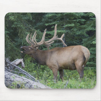 Bugling elk in Banff National Park, Canada. Mouse Pad