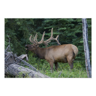 Bugling elk in Banff National Park, Canada. Posters