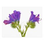 Bugloss púrpura de las víboras (plantagineum del tarjetas postales