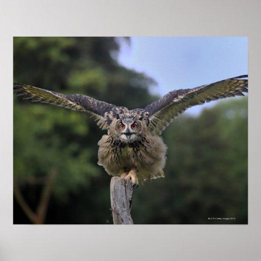 Búho de Eagle (bubón del bubón) Póster