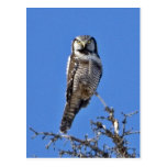 Búho de halcón septentrional tarjetas postales