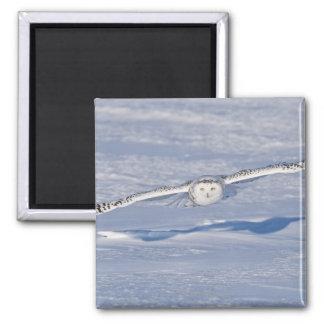 Búho Nevado en vuelo. 2 Imán Cuadrado