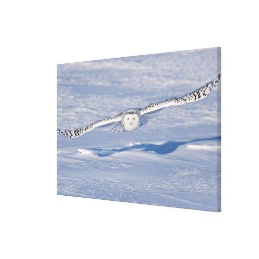 Búho Nevado en vuelo. 2 Lona Envuelta Para Galerías