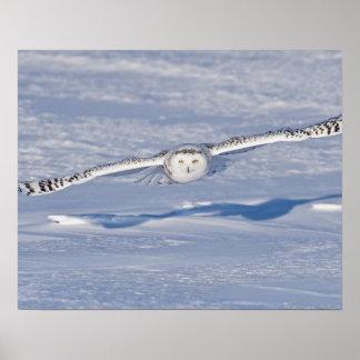 Búho Nevado en vuelo. 2 Póster