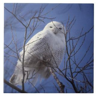 Búho Nevado - pájaro blanco contra un cielo azul d Tejas