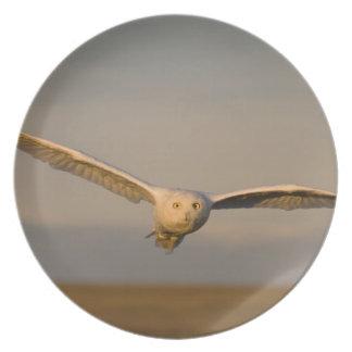 búho nevoso, scandiaca de Nycttea, en vuelo sobre Platos Para Fiestas