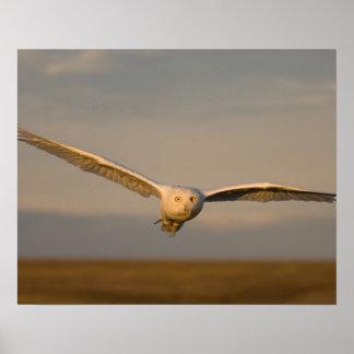 búho nevoso, scandiaca de Nycttea, en vuelo sobre Póster