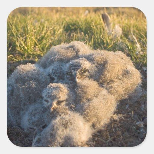 búho nevoso, scandiaca de Nycttea, polluelos en su Calcomanías Cuadradas