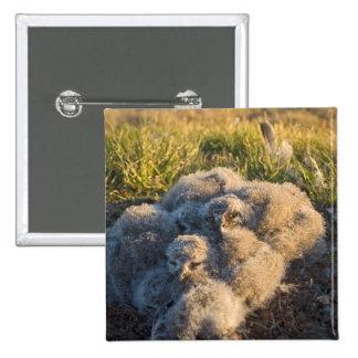 búho nevoso, scandiaca de Nycttea, polluelos en su Pin Cuadrada 5 Cm