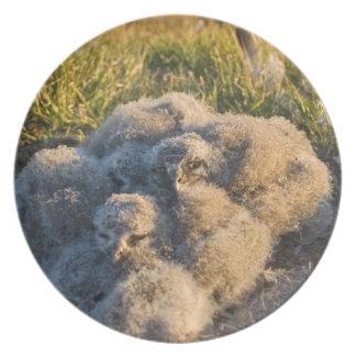 búho nevoso, scandiaca de Nycttea, polluelos en su Platos De Comidas