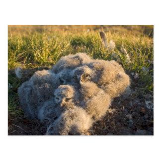 búho nevoso, scandiaca de Nycttea, polluelos en su Postales